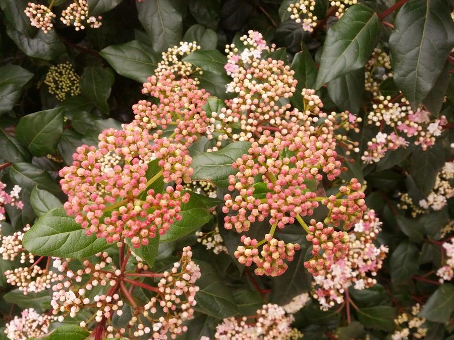 viburnum tinus βιβούρνο