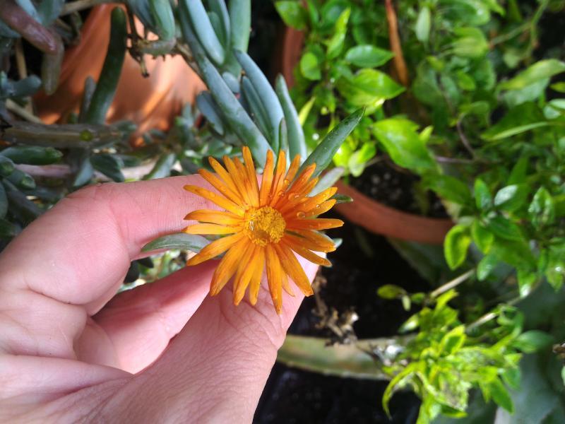 Πορτοκαλί λουλουδάκι με αγάπη από το μπούζι