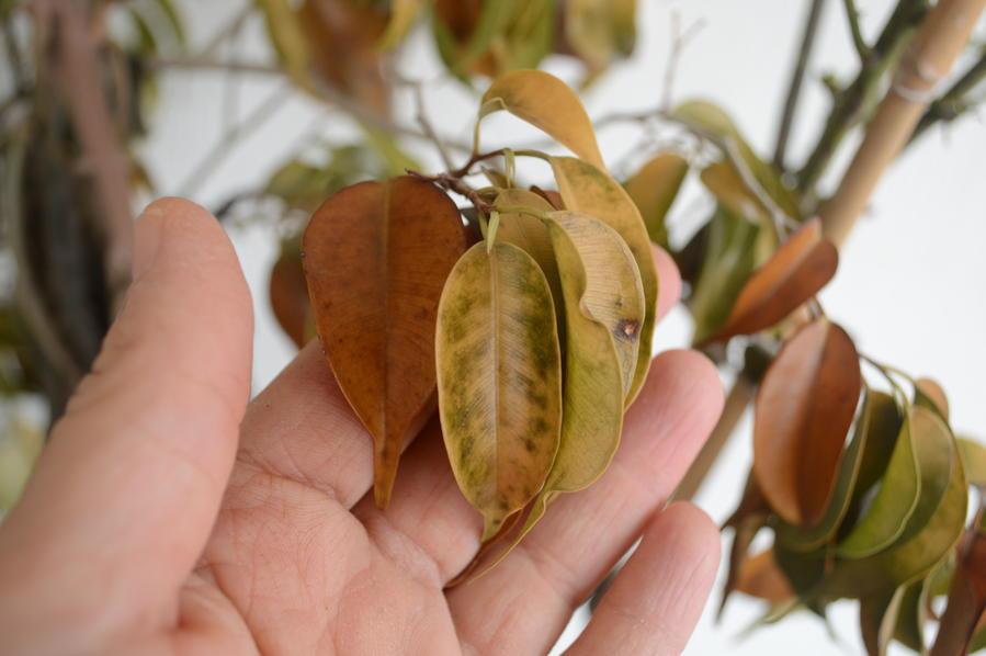 Παγωμένος φίκος με αλλαγή χρώματος στα φύλλα